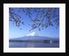 Cherry blossom with Mount Fuji and Lake Kawaguchi in background, Fuji-Hakone-Izu National Park, Japan by Corbis
