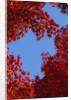 Directly below view of autumn leaves, Kyoto, Kyoto Urban Prefecture, Kinki Region, Japan by Corbis