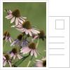 Echinacea flowers by Corbis