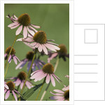 Echinacea flowers by Corbis