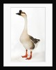 Chinese goose by Corbis