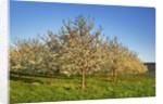 Cherry plantation in bloom by Corbis