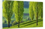 Poplar row by Corbis
