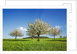 Cherry plantation in bloom by Corbis