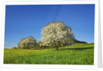 Cherry in bloom by Corbis