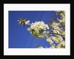 Cherry in bloom by Corbis