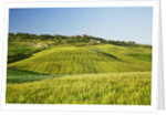 Agricultural landscape with barley by Corbis