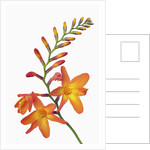 Crocosmia by Corbis