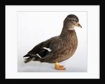Roen Clair Duck by Corbis