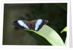 Owl Butterfly by Corbis