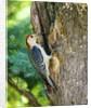 Red-bellied Woodpecker by Corbis