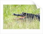 American Alligator by Corbis