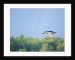 Black-crowned Night Heron by Corbis