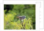 Green Heron by Corbis
