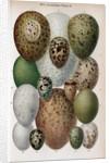 Scientific Illustration of Various Eggs #1 by Corbis