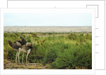 Kenya, Amboseli National Park, 2 female ostrich by Corbis