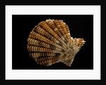 Gloripallium speciosum by Corbis