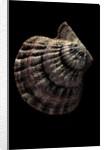 Lyropecten nodosus by Corbis