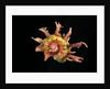 Angaria delphinus by Corbis