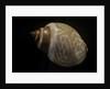Babylonia ambulacrum by Corbis