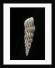 Boreoscala groenlandica by Corbis