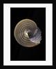 Calliostoma canaliculata by Corbis