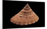 Calliostoma formosense by Corbis