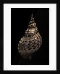 Charonia tritonis (triton) by Corbis