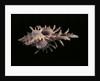 Chicoreus aculeatus by Corbis