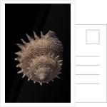 Galeoastraea millegranosa by Corbis