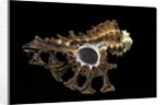 Homalocantha scorpio by Corbis