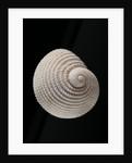Neritopsis radula by Corbis