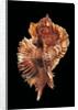 Pterynotus miyokoae by Corbis