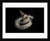Siliquaria anguina by Corbis
