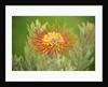 Orange Pin Cushion Protea, Upcountry Maui, Hawaii by Corbis