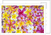 Colorful Plumeria blossoms, Maui, Hawaii by Corbis