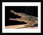 Crocodylus niloticus (Nile crocodile) by Corbis
