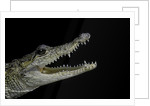 Crocodylus moreletii (Morelet's crocodile) by Corbis
