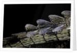 Gavialis gangeticus (gharial) - tail by Corbis