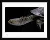 Acanthochelys spixii (black spine-necked swamp turtle) by Corbis