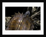 Heosemys spinosa (spiny turtle) by Corbis