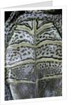 Malaclemys terrapin centrata (diamondback terrapin) by Corbis