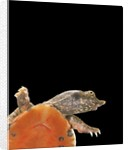 Pelodiscus sinensis (chinese soft-shelled turtle) by Corbis
