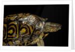 Rhinoclemmys pulcherrima manni (painted wood turtle) by Corbis