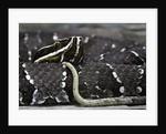 Agkistrodon bilineatus (mexican moccasin) by Corbis