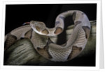 Agkistrodon contortrix (copperhead) by Corbis