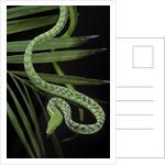 Ahaetulla prasina (asian long-nosed tree snake) by Corbis