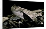 Bitis gabonica (Gaboon viper) by Corbis