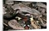 Boa constrictor by Corbis