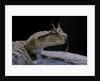 Cerastes cerastes (horned viper) by Corbis